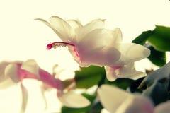 Flor delicadamente branco-amarelada do fim do cacto de Natal acima Imagem de Stock Royalty Free