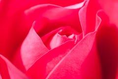 Flor delicadamente Rose In Garden vermelha Foto de Stock