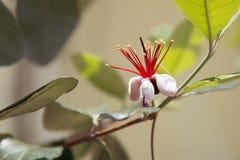 Flor delicioso de la guayaba de piña fotografía de archivo libre de regalías