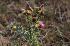 Flor demitida uma erva daninha um formigamento, inflorescência azul, fluff branco foto de stock royalty free