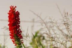 Flor derecha roja fotografía de archivo libre de regalías