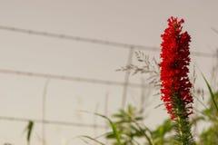 Flor derecha roja Fotos de archivo libres de regalías