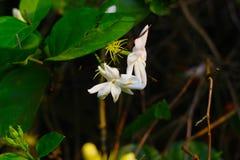 a flor desopro do jasmim refrescará seu humor foto de stock