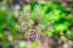 A flor desvanecida Imagens de Stock Royalty Free