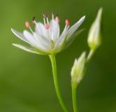 Flor detalhada Imagens de Stock Royalty Free