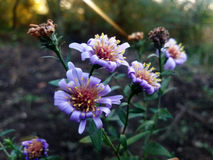 Flor do áster Imagens de Stock Royalty Free