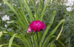Flor do áster fotografia de stock royalty free
