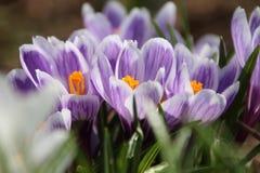 A flor do açafrão Foto de Stock