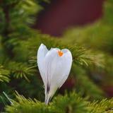 Flor do açafrão Imagem de Stock Royalty Free
