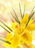 Flor do açafrão Fotografia de Stock