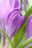 Flor do açafrão Foto de Stock