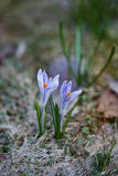 Flor do açafrão Foto de Stock Royalty Free