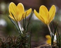 A flor do açafrão Fotografia de Stock