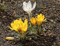 A flor do açafrão Fotos de Stock
