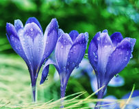 Flor do açafrão Fotografia de Stock Royalty Free