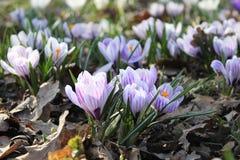 Flor do açafrão fotos de stock royalty free