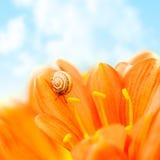 Flor do açafrão com caracol Fotografia de Stock Royalty Free