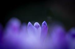 Flor do açafrão com dof raso do campo na primavera Imagem de Stock