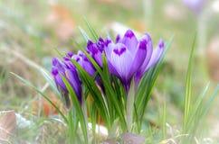 Flor do açafrão com dof raso do campo na primavera Fotografia de Stock Royalty Free