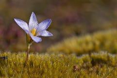 Flor do açafrão com gotas da água Imagem de Stock Royalty Free