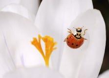 Flor do açafrão com Ladybug Foto de Stock