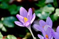 Flor do açafrão com luz - roxo no fundo verde Imagens de Stock Royalty Free
