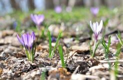 Flor do açafrão consideravelmente selvagem Imagens de Stock Royalty Free