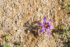 Flor do açafrão da areia da mola Fotos de Stock