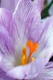 Flor do açafrão da floresta Imagem de Stock