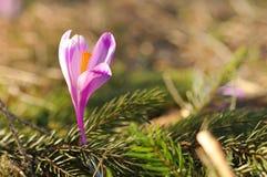 Flor do açafrão da mola Foto de Stock Royalty Free