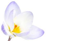 Flor do açafrão da mola Imagem de Stock