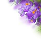 Flor do açafrão da mola Imagem de Stock Royalty Free