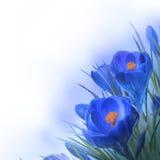Flor do açafrão da mola Fotografia de Stock