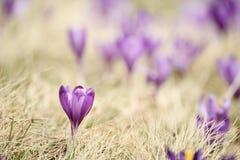 Flor do açafrão da mola Foto de Stock