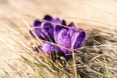 Flor do açafrão da mola Fotos de Stock Royalty Free