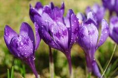 Flor do açafrão da mola Fotografia de Stock Royalty Free