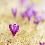 Flor do açafrão da mola Fotos de Stock