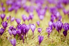 Flor do açafrão da mola Imagens de Stock Royalty Free