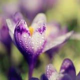 Flor do açafrão da mola Imagens de Stock