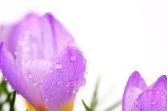 Flor do açafrão da mola com gotas de água Fotografia de Stock