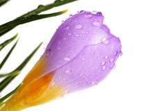 Flor do açafrão da mola com gotas de água Imagens de Stock Royalty Free