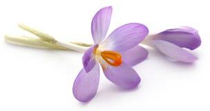 Flor do açafrão de açafrão Imagens de Stock Royalty Free
