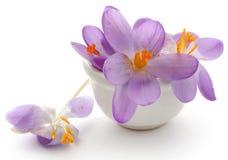 Flor do açafrão de açafrão Fotografia de Stock Royalty Free