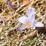 Flor do açafrão de outono em Crimeia Fotografia de Stock Royalty Free