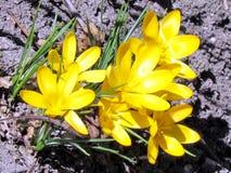 Flor 2013 do açafrão do amarelo do lago toronto Fotografia de Stock