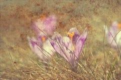 Flor do açafrão do vintage Fotos de Stock Royalty Free