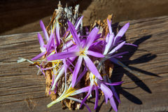 Flor do açafrão em cores roxas e amarelas Fotos de Stock Royalty Free