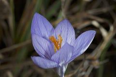 Flor do açafrão em um campo da mola Imagens de Stock Royalty Free