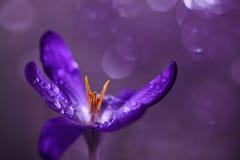 Flor do açafrão em um fundo roxo com bokeh imagens de stock