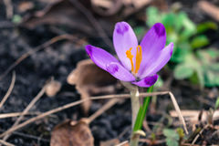 a flor do açafrão entre o marrom seca a natureza das folhas Imagem de Stock Royalty Free